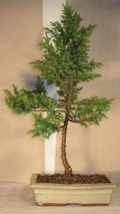 bonsai juniperus stricta