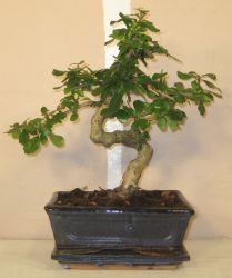 bonsai carmona retusa