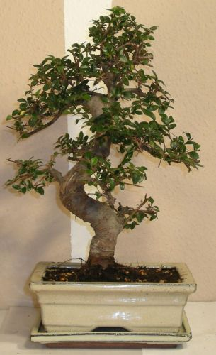 bonsai træ